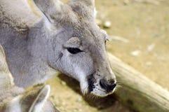 Grey Kangaroo occidentale australiano nella regolazione naturale Fotografie Stock