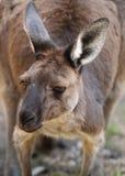 Grey Kangaroo ocidental imagem de stock royalty free