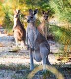 Grey Kangaroo oriental féminin Image libre de droits