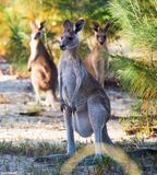 Grey Kangaroo oriental fêmea Imagem de Stock Royalty Free