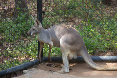 Grey Kangaroo oriental que está dentro de um cerco fotos de stock royalty free