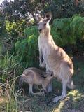 Grey Kangaroo orientale con il joey Fotografia Stock