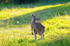 Grey Kangaroo Stretching orientale australiano Fotografia Stock Libera da Diritti