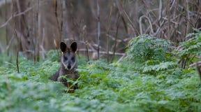 Grey Kangaroo in the wild. Royalty Free Stock Image