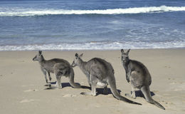 Grey kangaroos Royalty Free Stock Photo