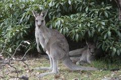 Grey kangaroos Royalty Free Stock Photos