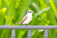 Grey Kingbird (Tyrannus dominicensis) Royalty Free Stock Photography