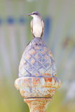 Grey Kingbird (Tyrannus dominicensis) Stock Photography