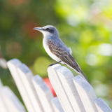 Grey Kingbird (Tyrannus dominicensis) Royalty Free Stock Photography