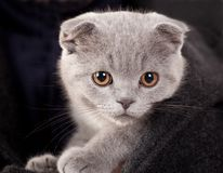 Grey kitten Stock Photo