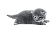Grey kitten Royalty Free Stock Photos