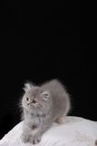 Grey Kitten. Young Grey Kitten on a pillow stock image