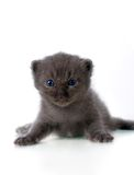 Grey kitten Stock Photography