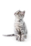 Grey kitten. Cute gray kitten looking up on the white background Stock Photos
