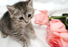 Grey kitten. Also three pink roses Royalty Free Stock Images