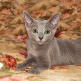 Grey kitten. The grey kitten lays on a sofa Royalty Free Stock Image