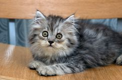 Grey kitten Royalty Free Stock Images