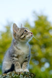 Grey kitten. A little grey kitten sits on a post Stock Images