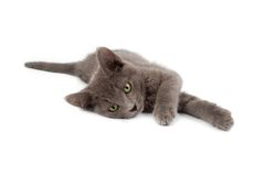 Grey kitten. A Grey kitten laying down Royalty Free Stock Image
