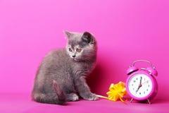 Grey kitten Royalty Free Stock Image