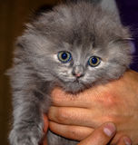 Grey kitten animal. Grey kitten fluffy little outrage Royalty Free Stock Image