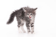 Grey kitten with arched back. Hissing kitten with an arched back, isolated on a white background royalty free stock photos