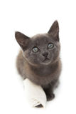 Grey kitten with a bandage on its paw Royalty Free Stock Photo