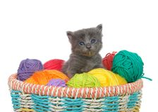 Grey kitten in a basket of yarn balls. Three week old grey kitten sitting in a basket of yarn balls in multiple colors looking at viewer. Isolated on white royalty free stock photo