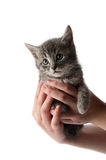 Handful of Kitten. Grey kitten being held by young girl stock photo