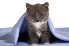 Grey kitten on the blanket Royalty Free Stock Photo