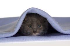 Grey kitten on the blanket. Grey kitten under the blue blanket Royalty Free Stock Photo