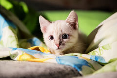Grey kitten with blue eyes hunting Stock Image