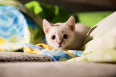 Grey kitten with blue eyes hunting Royalty Free Stock Images