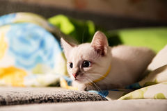Grey kitten with blue eyes hunting Royalty Free Stock Photography