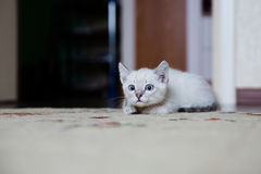 Grey kitten with blue eyes hunting Stock Images