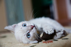 Grey kitten with blue eyes Royalty Free Stock Photo