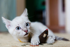 Grey kitten with blue eyes Stock Photos