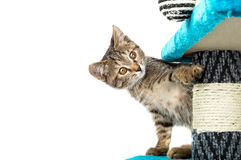 Grey kitten with brown eyes looks out for obstacles Royalty Free Stock Photo