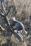 Grey kitten climbing on the dry tree Royalty Free Stock Image