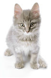 Grey kitten Stock Photos