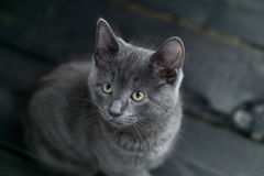Grey kitten on dark background. Royalty Free Stock Images