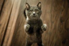 Grey Kitten On Floor Royalty Free Stock Photo