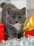 Grey kitten and gift box Stock Photos