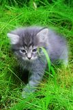 Grey kitten in grass royalty free stock image