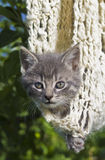 Grey kitten hanging in a woven cocoon. Royalty Free Stock Photo