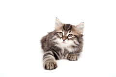 Grey kitten isolated on white Royalty Free Stock Photography
