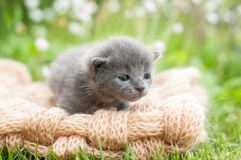 Grey kitten on a knitten blanket Royalty Free Stock Photo