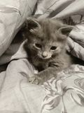 Grey kitten. Little grey kitty was born in our home ! So cute he is adorable and cuddly Royalty Free Stock Photography