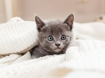 Grey kitten hiding inside white Knitted cardigan. Grey kitten looking out from its hiding place Stock Images