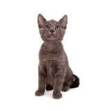 Grey kitten looking up Royalty Free Stock Photography